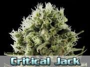 Critical jack Autoflower Zaden